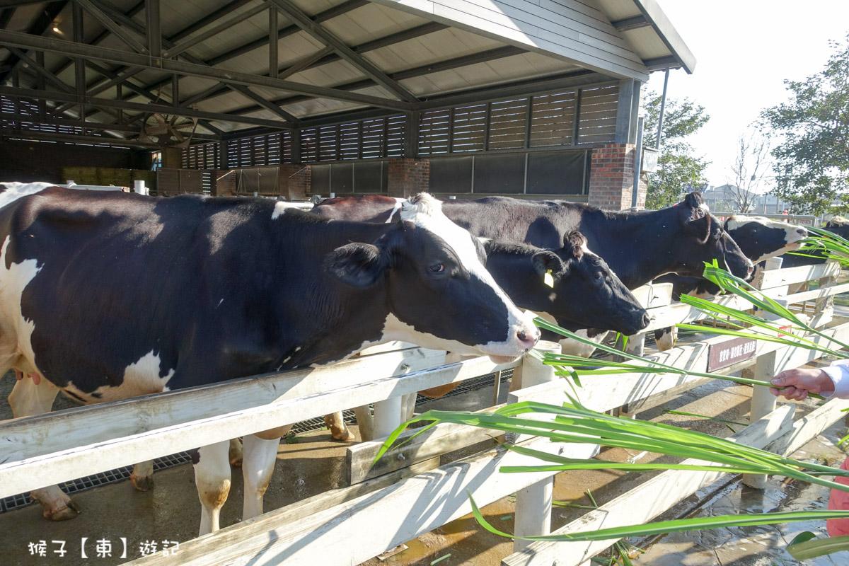 雲林千巧谷餵乳牛